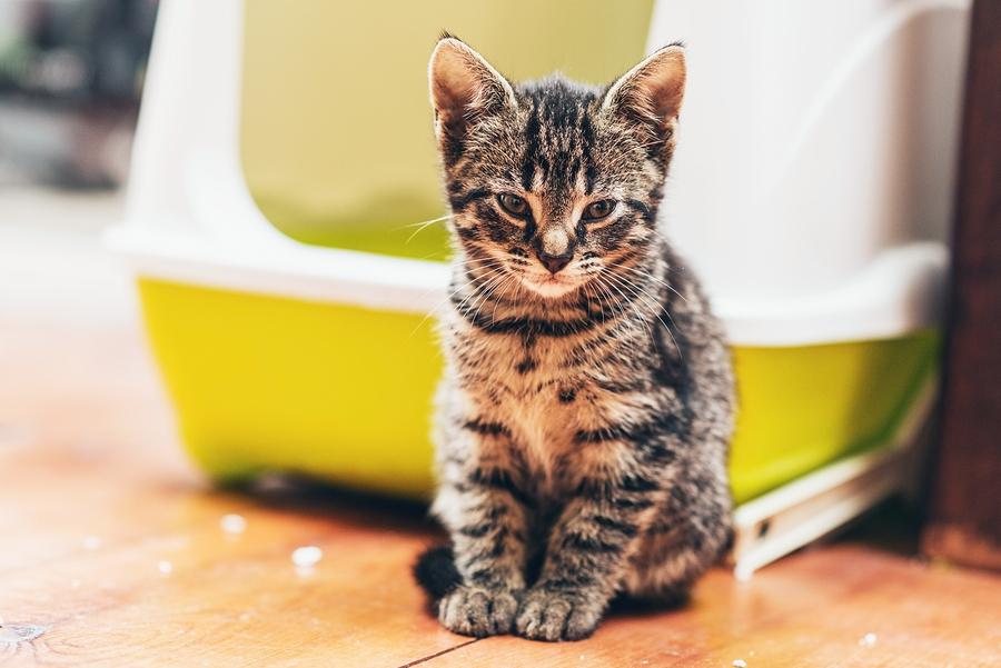 Come Abituare Il Gatto Alla Lettiera 10 Trucchi